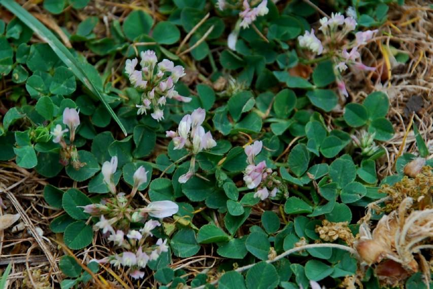 Trifolium repens subsp. prostratum 2