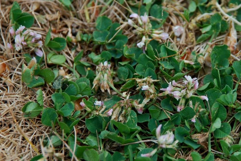 Trifolium repens subsp. prostratum 6
