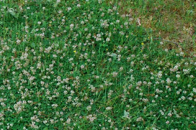 Trifolium repens subsp. prostratum 7