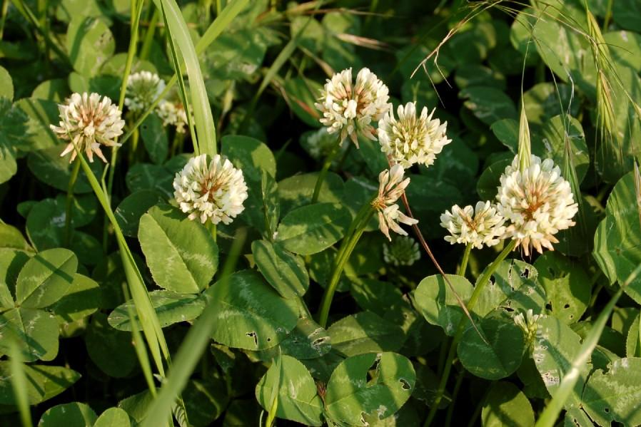 Trifolium repens subsp. repens
