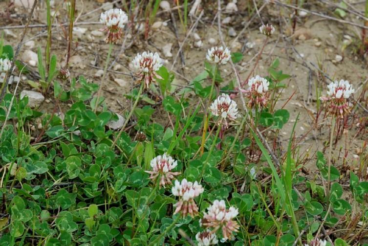 Trifolium repens subsp. repens 10