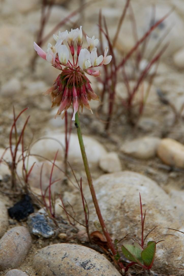 Trifolium repens subsp. repens 11