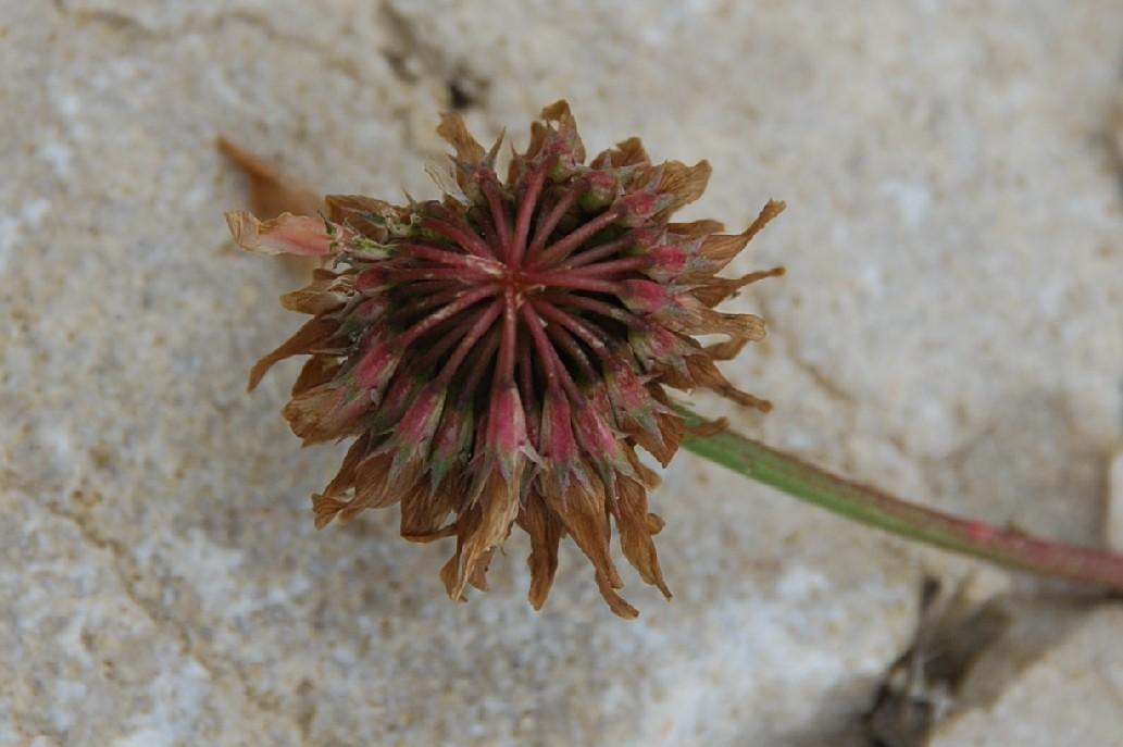 Trifolium repens subsp. repens 12
