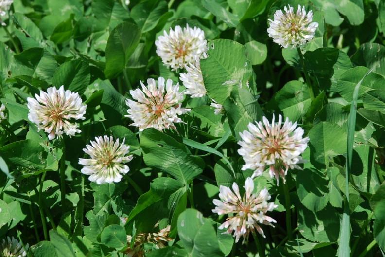 Trifolium repens subsp. repens 13