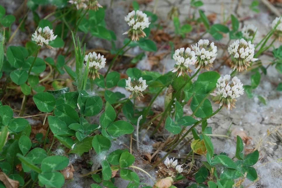 Trifolium repens subsp. repens 14