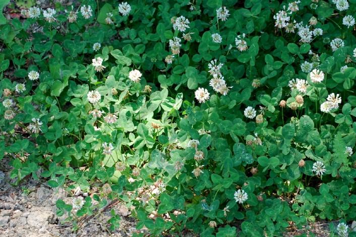 Trifolium repens subsp. repens 16
