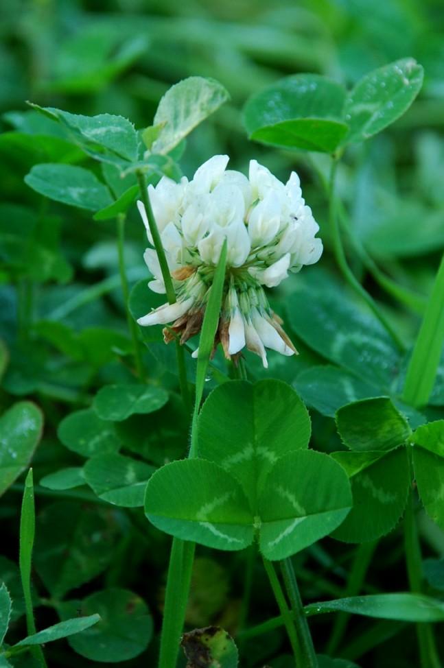 Trifolium repens subsp. repens 2
