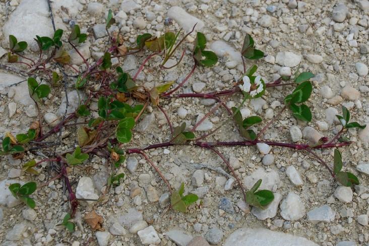 Trifolium repens subsp. repens 4