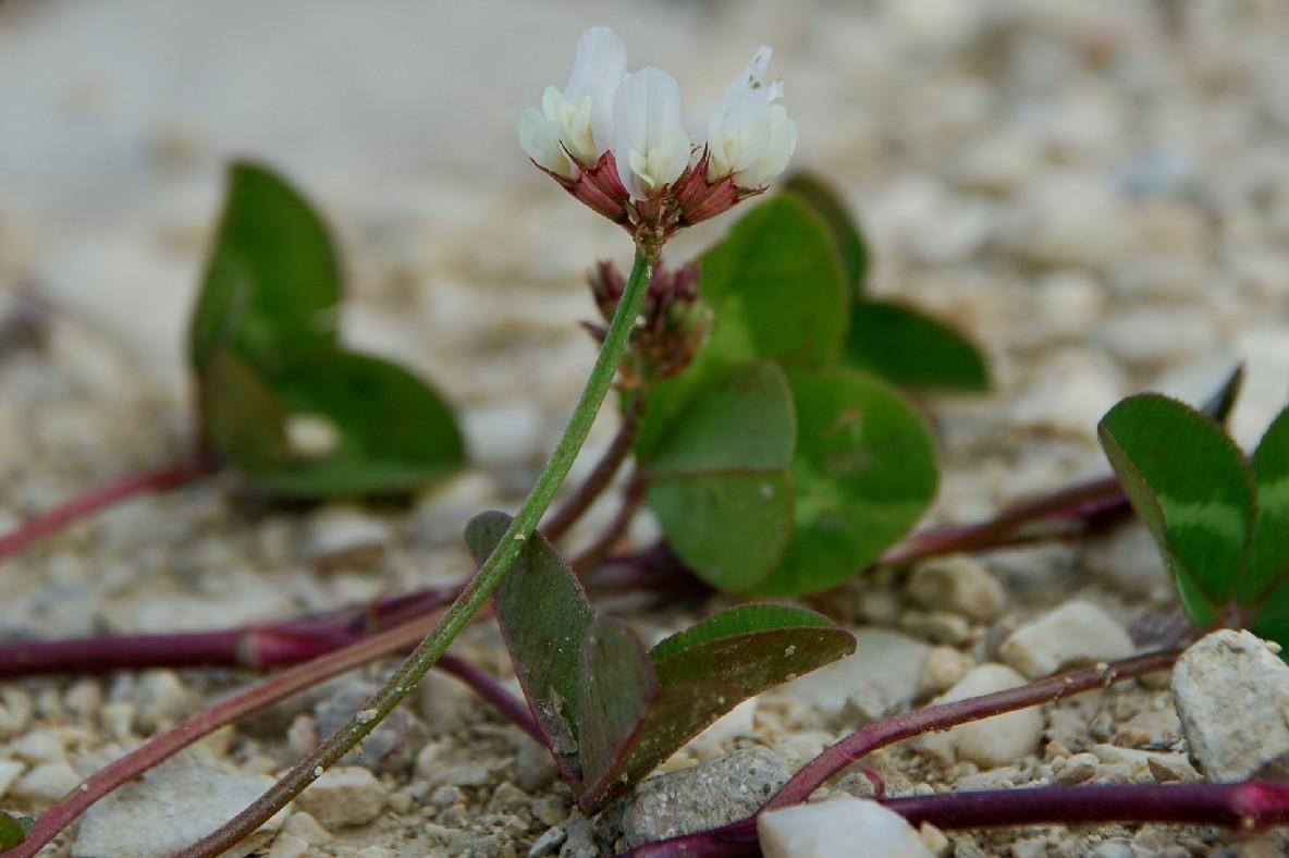 Trifolium repens subsp. repens 5