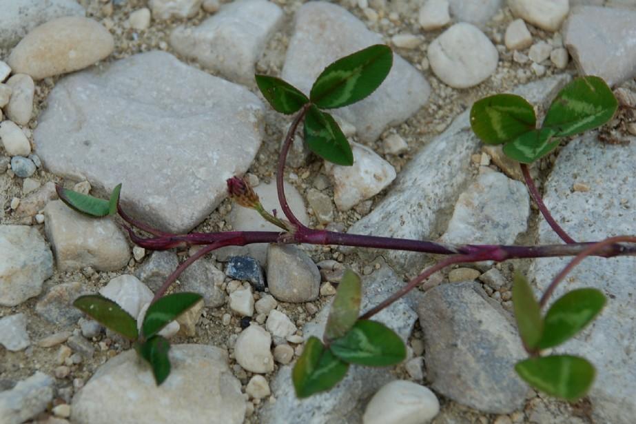 Trifolium repens subsp. repens 6