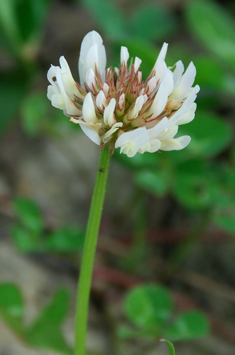 Trifolium repens subsp. repens 8