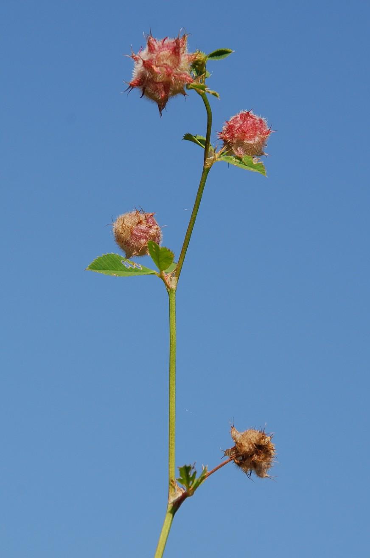 Trifolium resupinatum  12