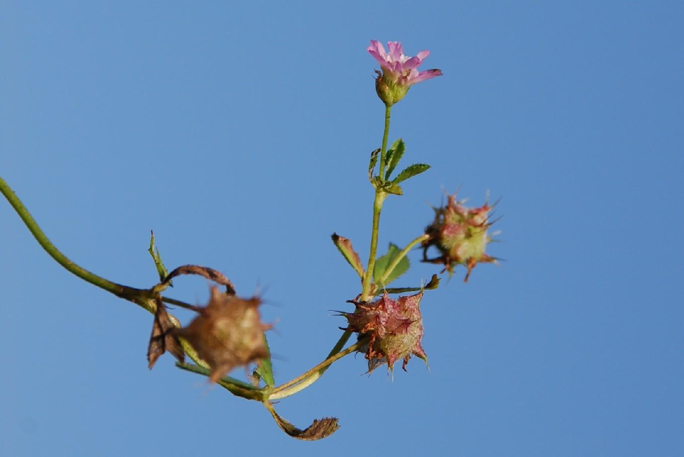 Trifolium resupinatum 14