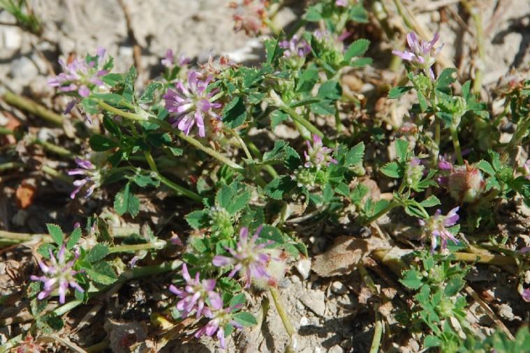 Trifolium resupinatum 17