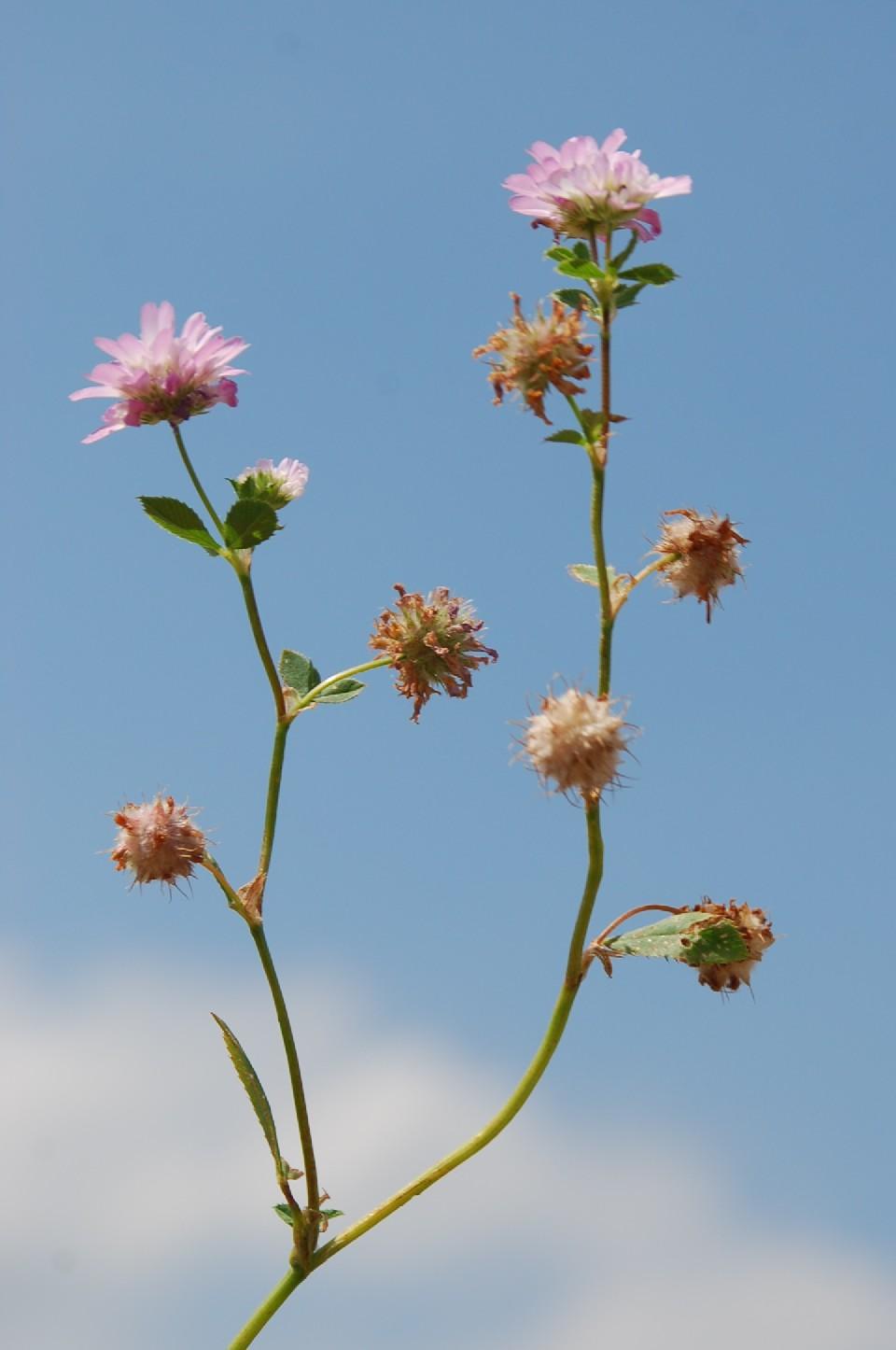 Trifolium resupinatum 18
