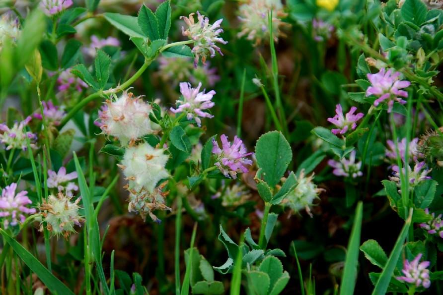 Trifolium resupinatum 2