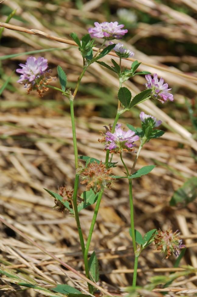 Trifolium resupinatum 22