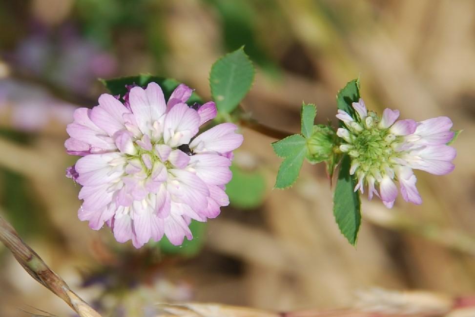 Trifolium resupinatum 23