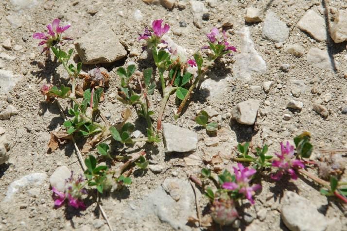 Trifolium resupinatum 24