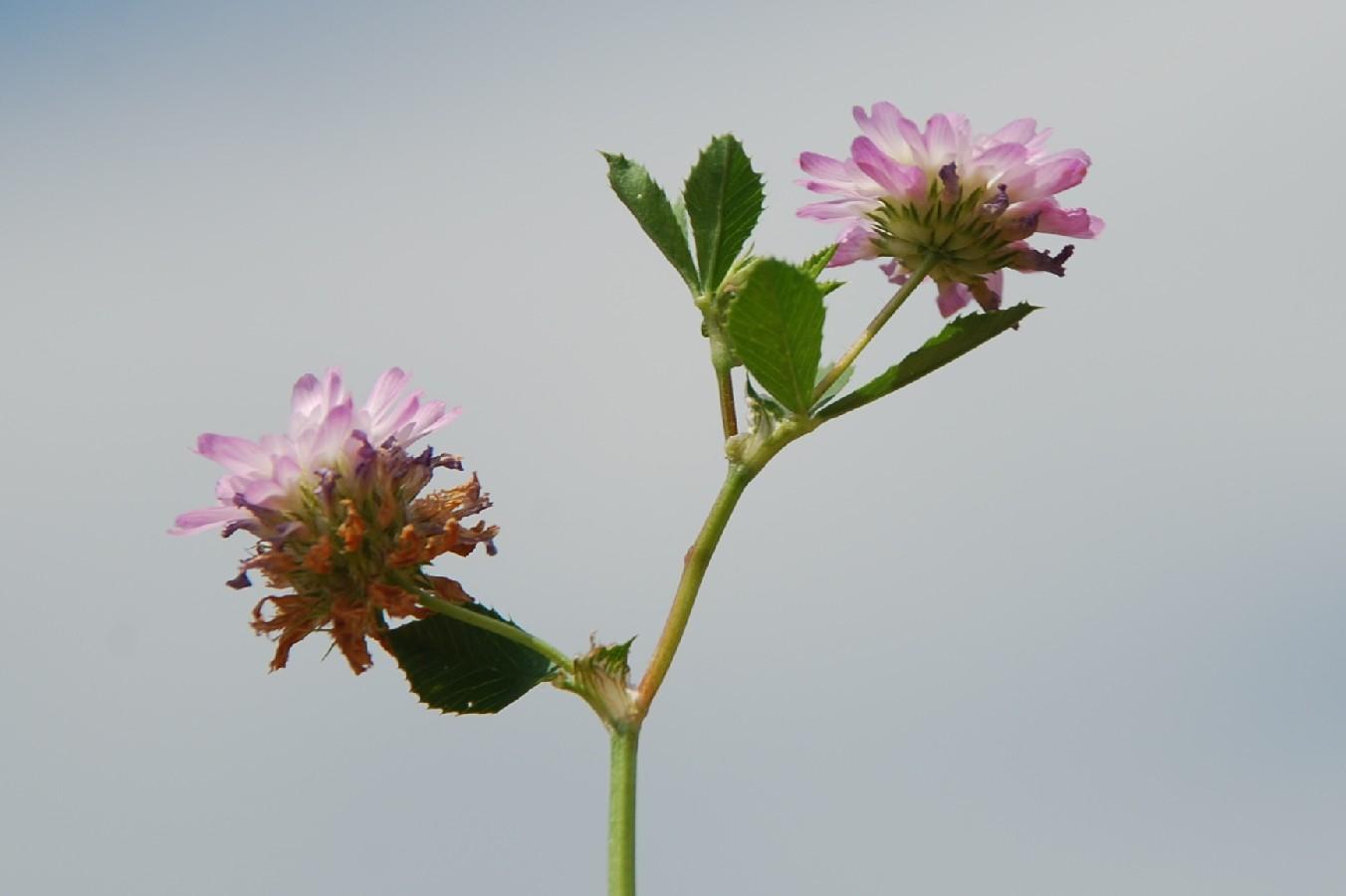 Trifolium resupinatum 25