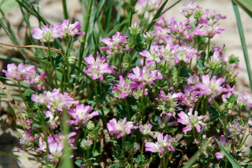 Trifolium resupinatum 28