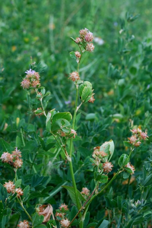 Trifolium resupinatum 5