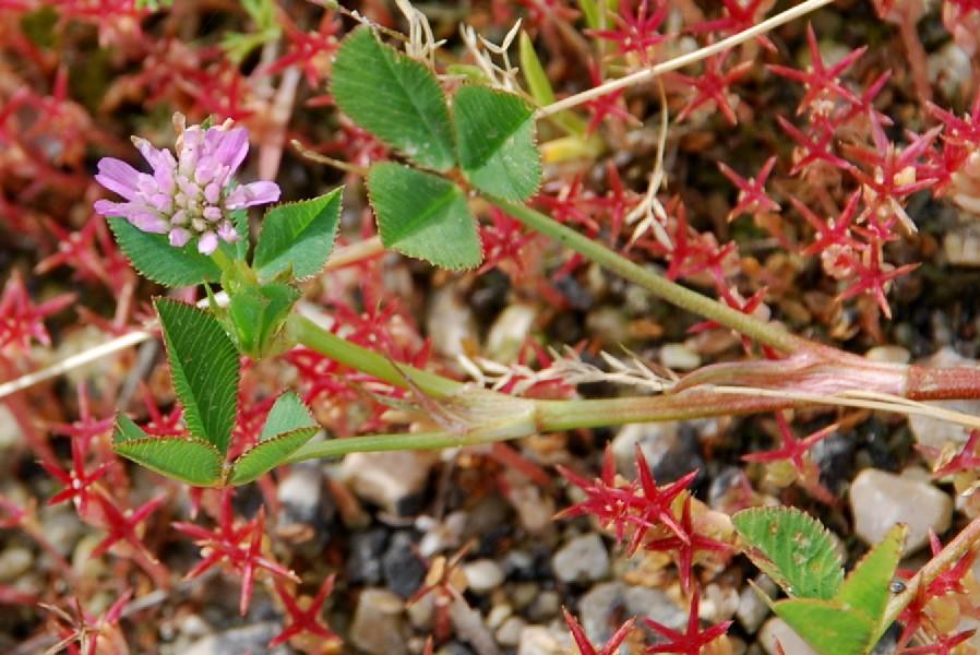 Trifolium resupinatum 7