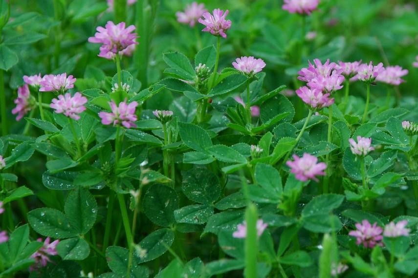 Trifolium resupinatum 8