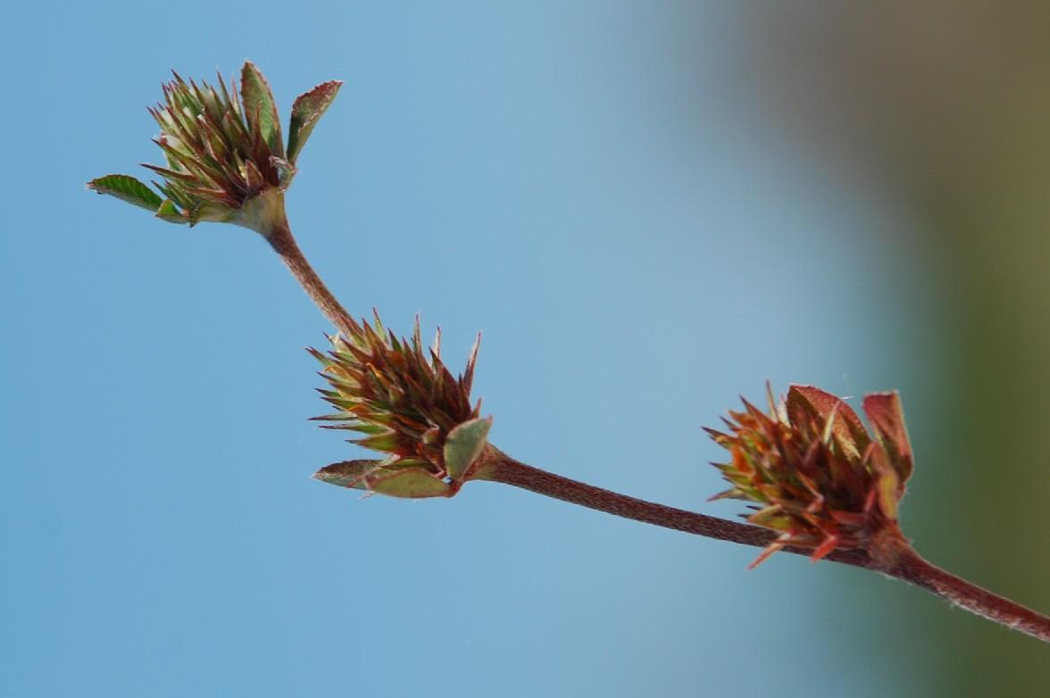 Trifolium scabrum 10