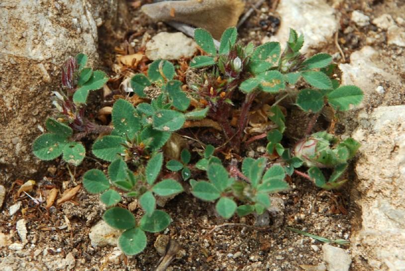 Trifolium scabrum 13
