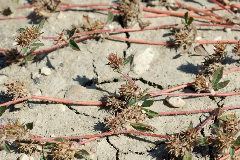 Trifolium scabrum 17