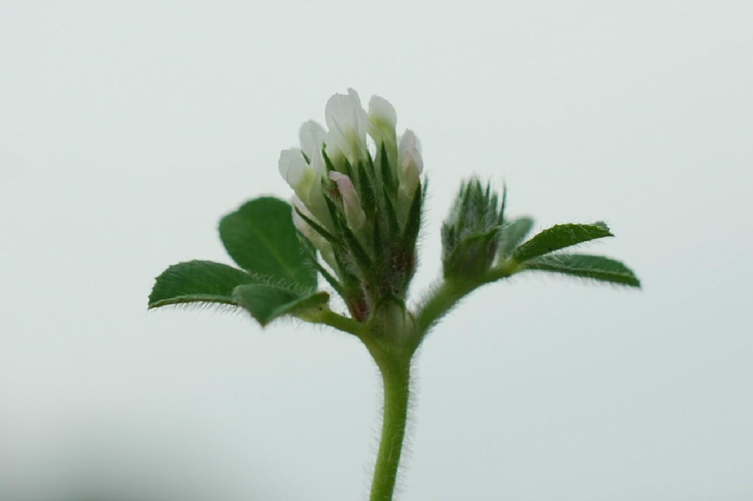 Trifolium scabrum 18