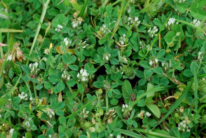 Trifolium scabrum 19