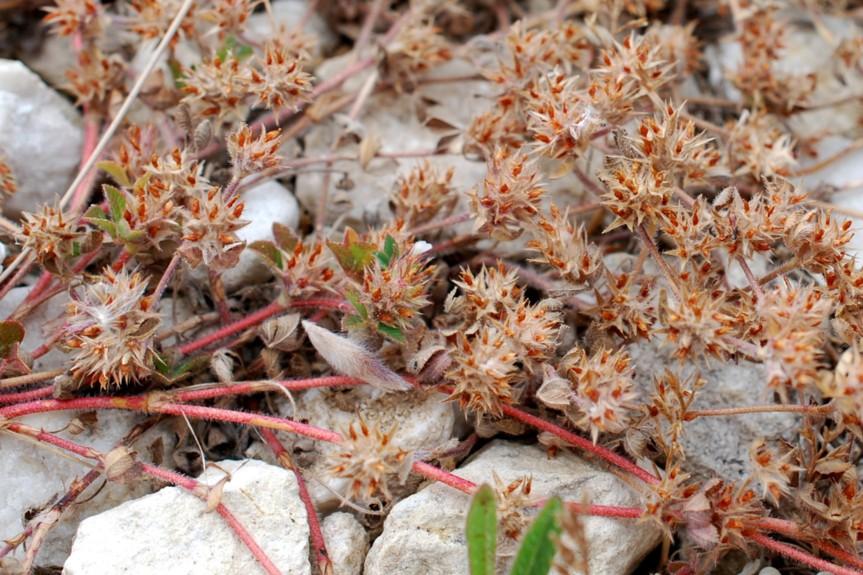 Trifolium scabrum 20