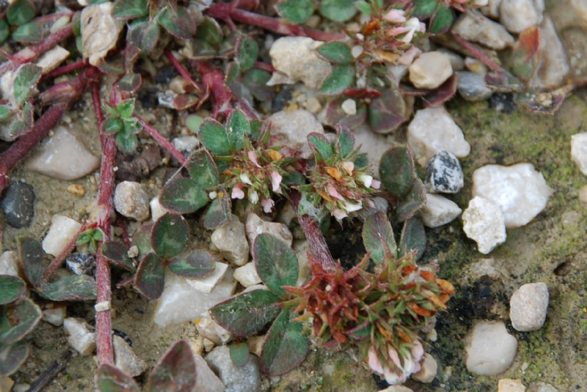 Trifolium scabrum 8