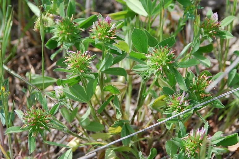 Trifolium squamosum 18