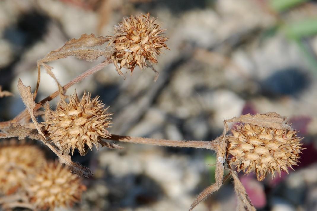 Trifolium squamosum 22