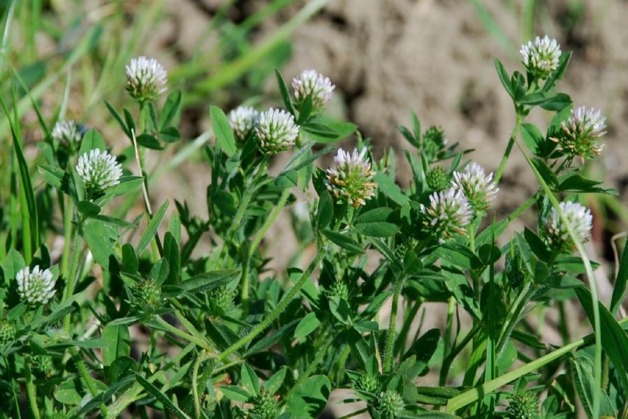 Trifolium squamosum 24