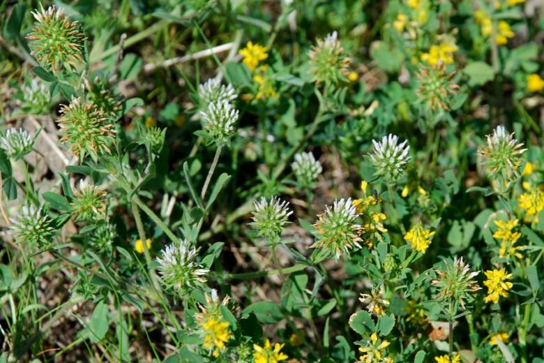 Trifolium squamosum 25