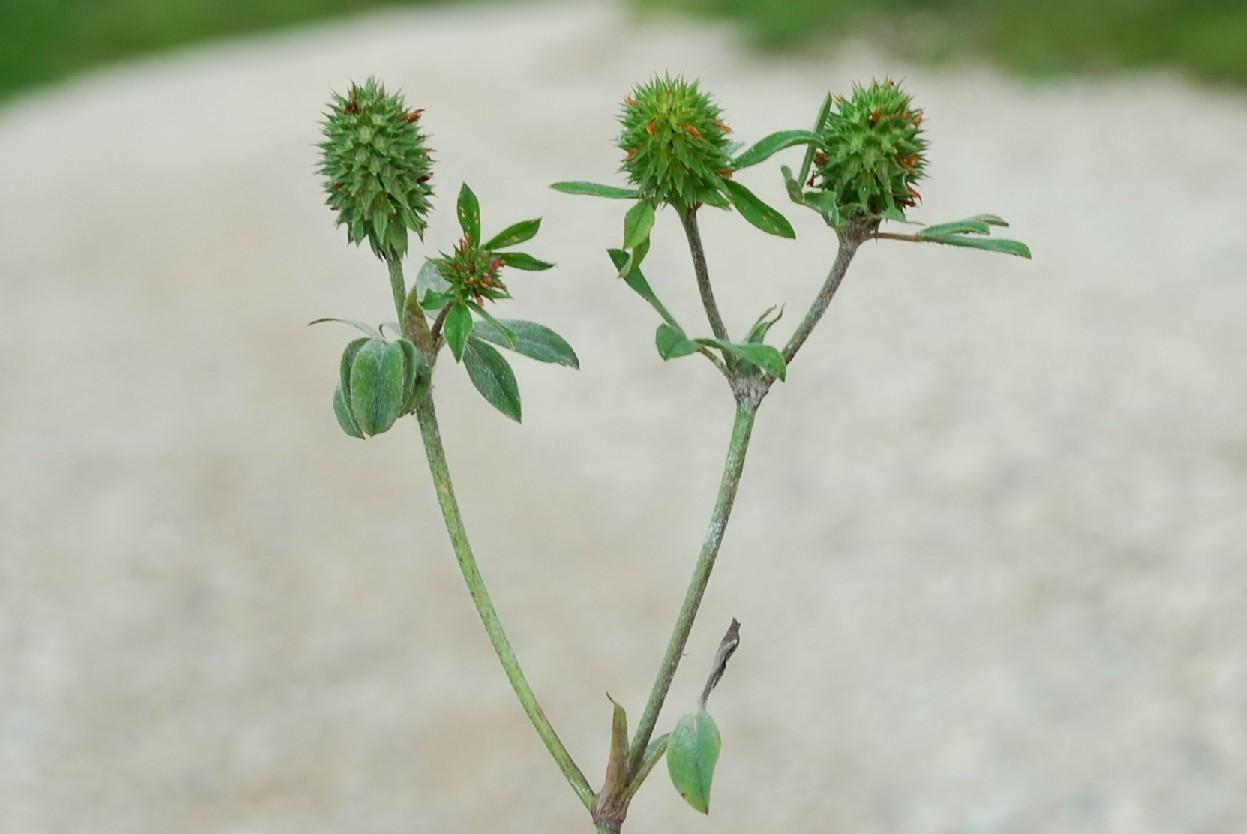 Trifolium squamosum 8