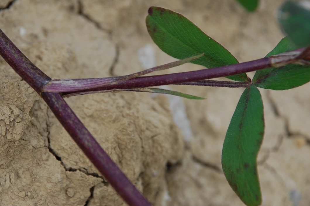 Trifolium squarrosum 10
