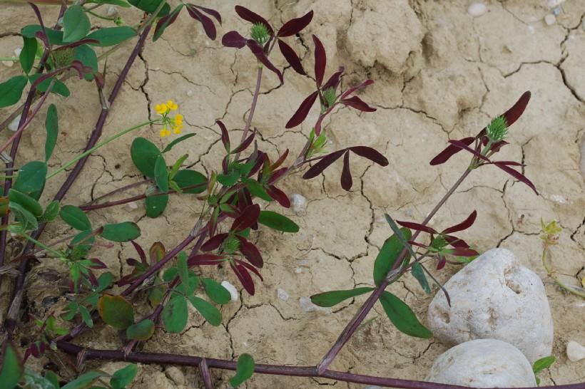 Trifolium squarrosum 11