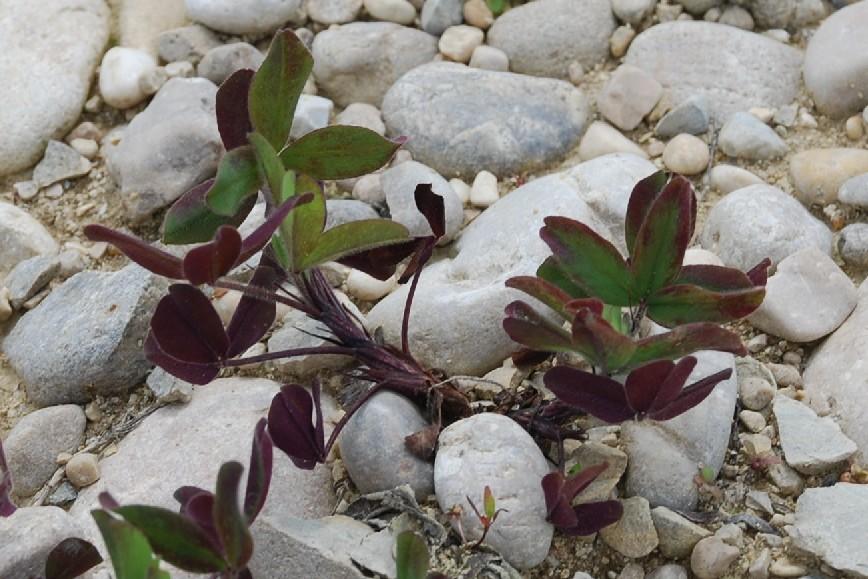 Trifolium squarrosum 2