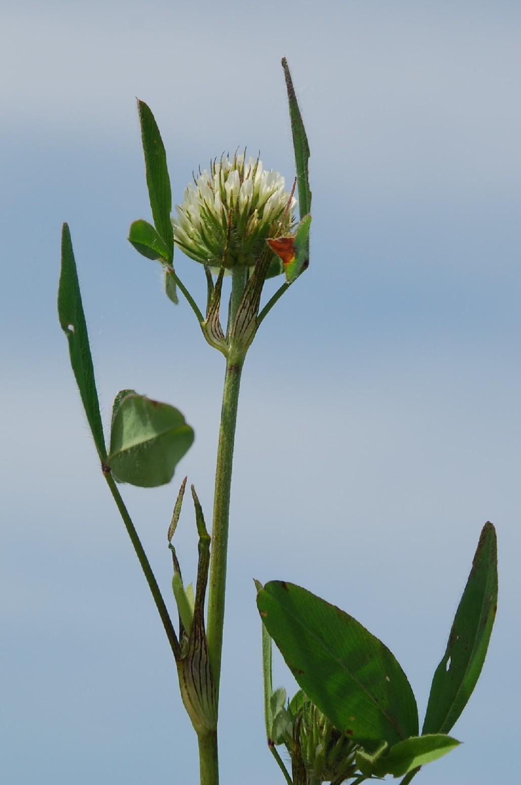 Trifolium squarrosum 4