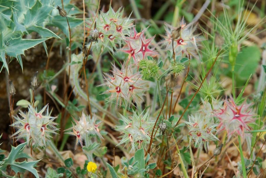 Trifolium stellatum 9
