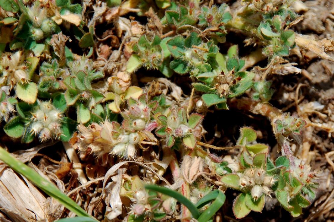 Trifolium striatum subsp. striatum