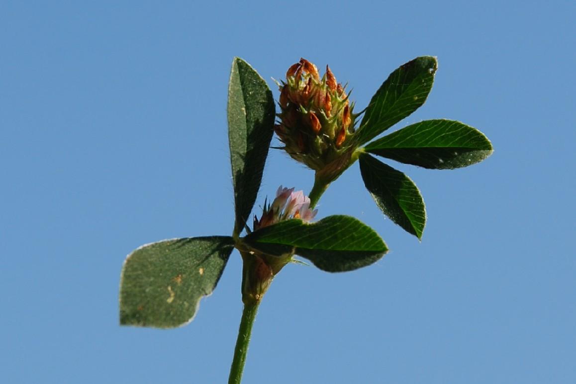 Trifolium striatum subsp. striatum 2