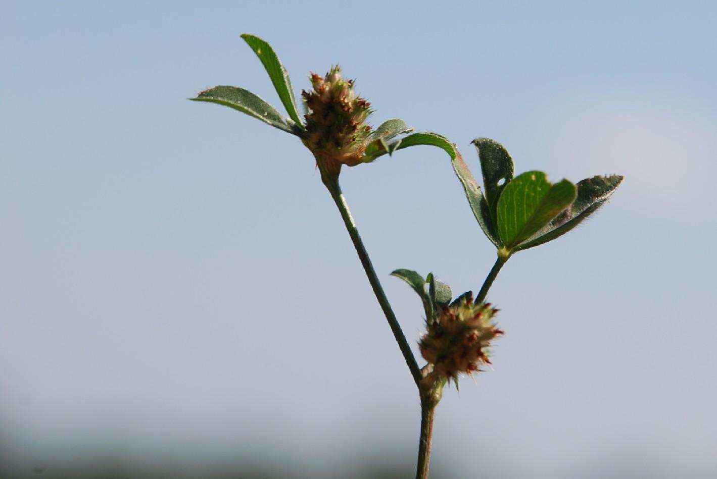 Trifolium striatum subsp. striatum 5