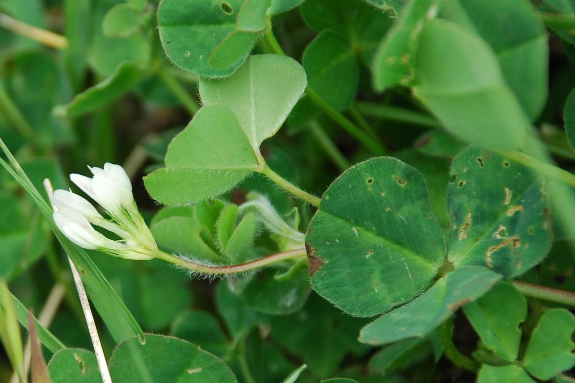 Trifolium subterraneum 5