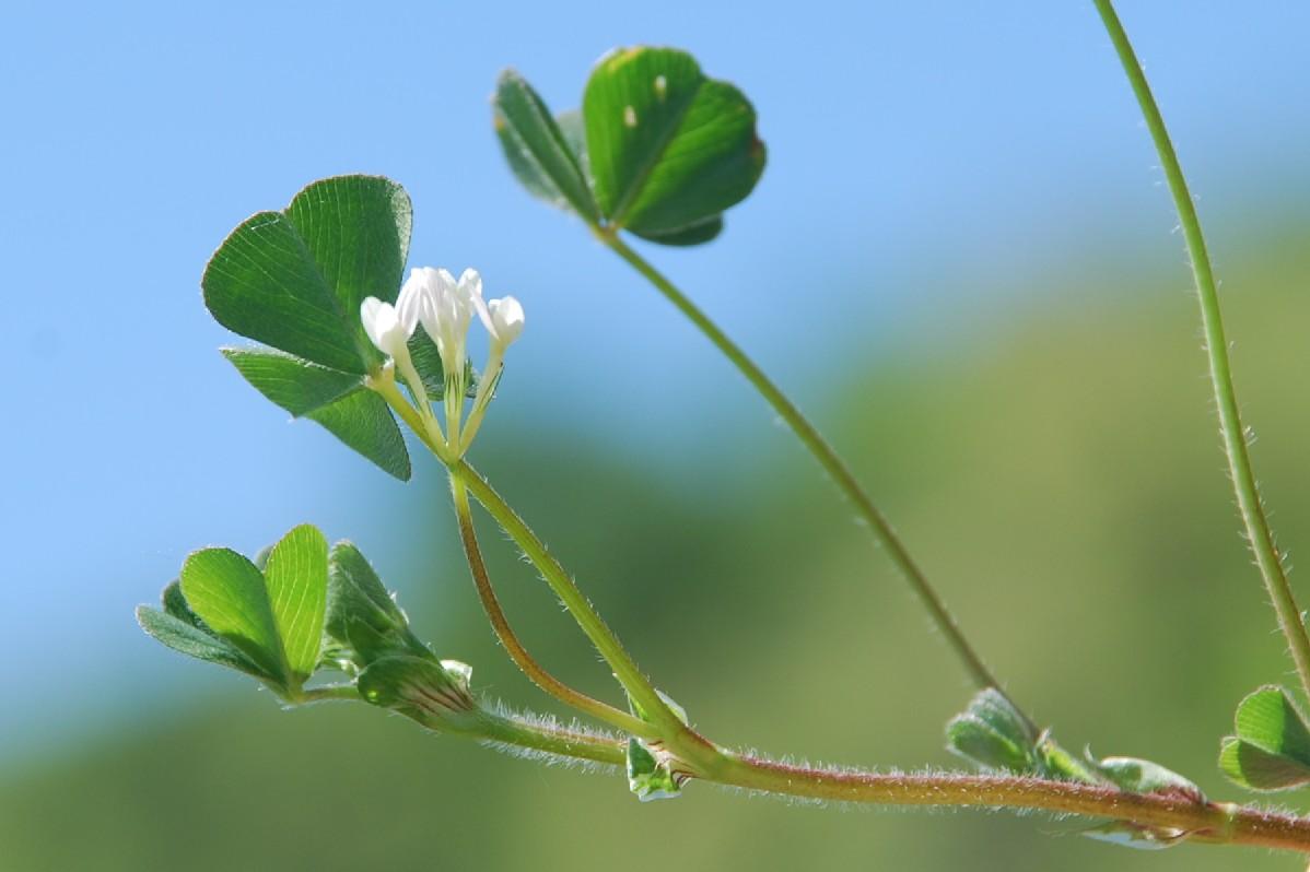 Trifolium subterraneum 7
